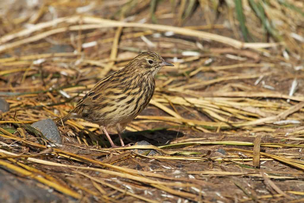 South Georgia Pipit photo by Brian Gratwicke