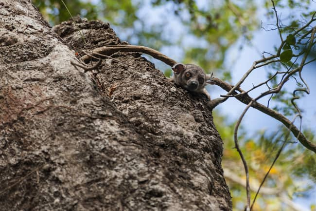 Madagascar Animals: Sportive Lemur