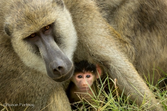 Baby & Mama Baboons