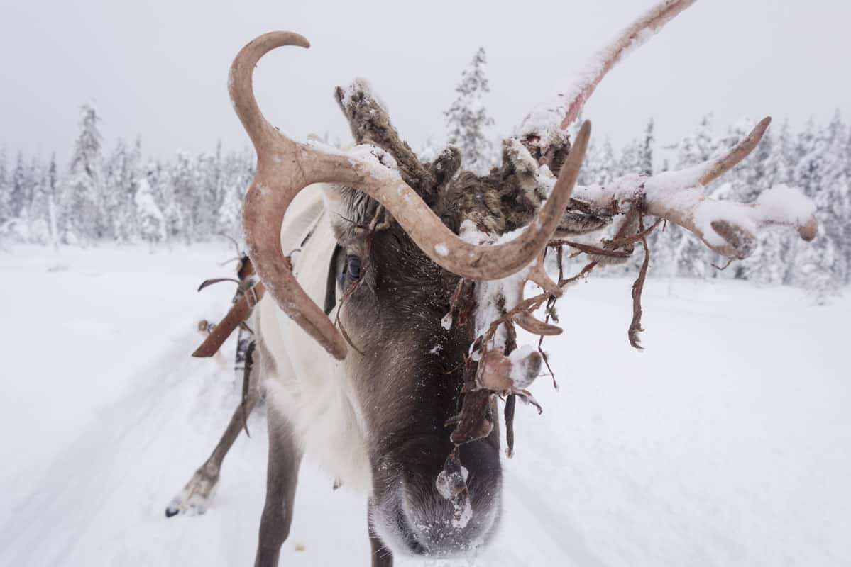 Reindeer Closeup in Finnish Lapland