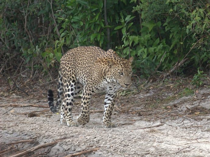 Sri Lanka Wildlife- leopard