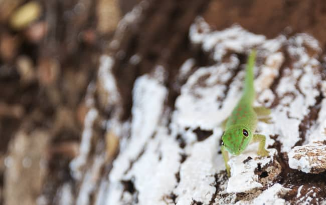 Madagascar Animals: Green Gecko