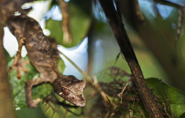 Madagascar Animals: Leaf Tailed Gecko