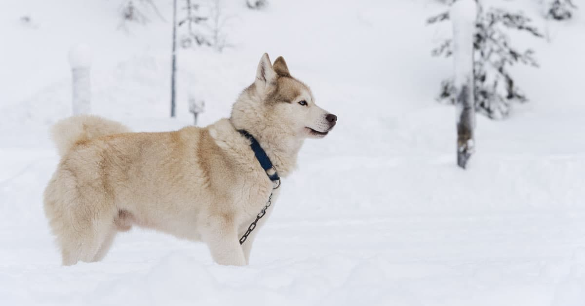 Husky in Finnish Lapland