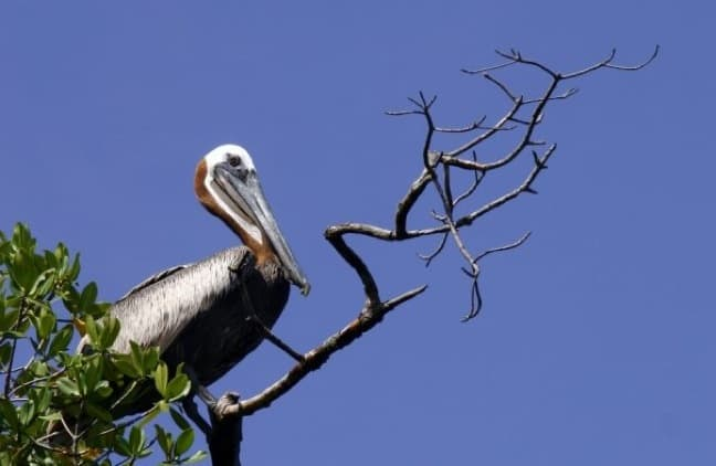 Pelican in Tarpon Bay in J.N. Ding Darling National Wildlife Refuge
