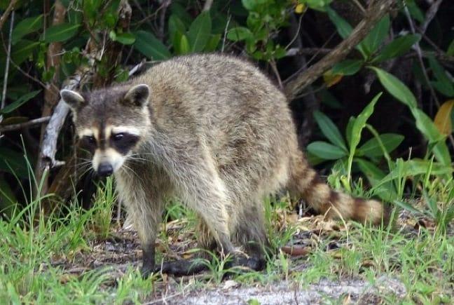 Young Raccoon in J.N. Ding Darling National Wildlife Refuge