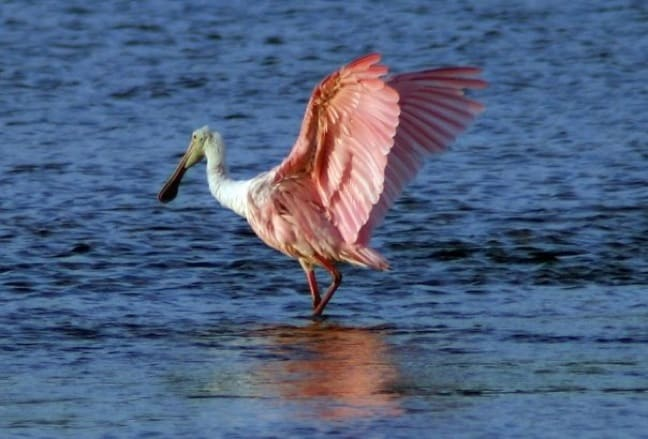 Roseate Spoonbill in J.N. Ding Darling National Wildlife Refuge