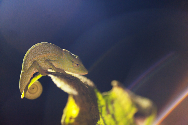 Madagascar Animals: Pygmy Chameleon