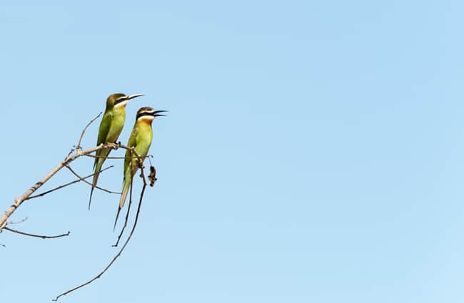 Madagascar Animals: Bee Eaters