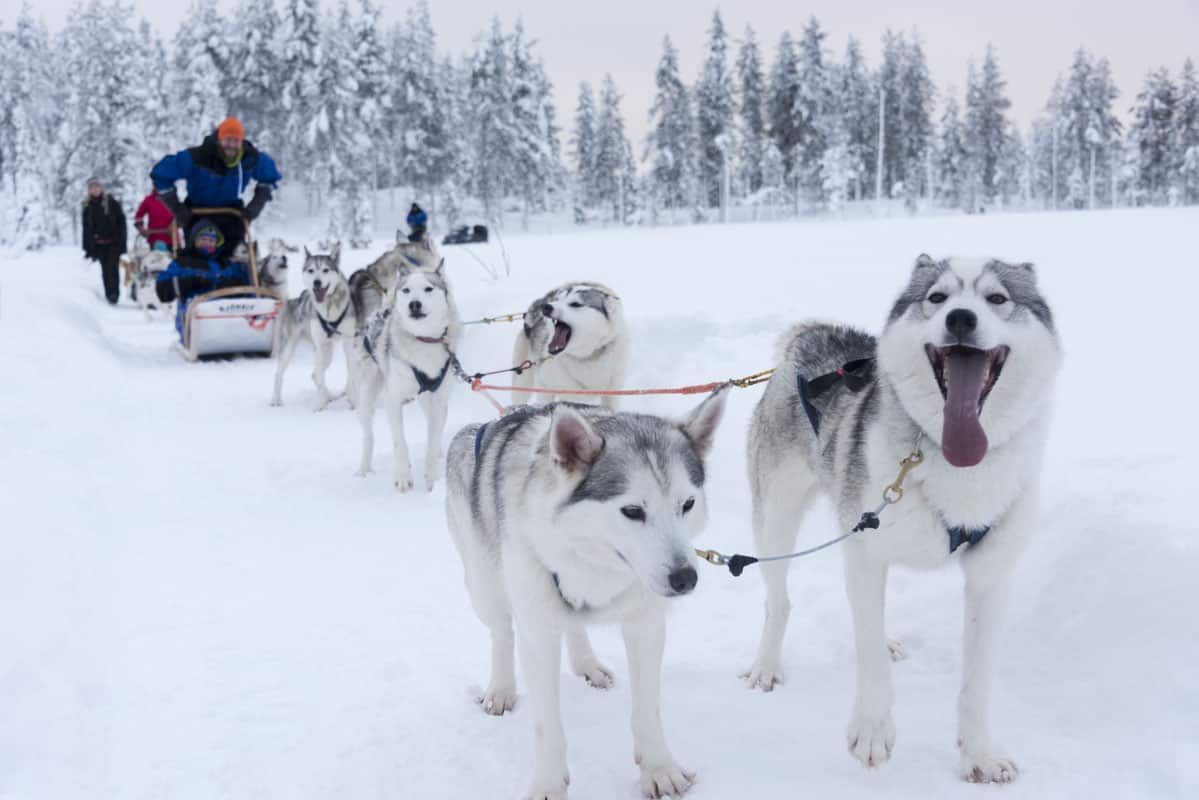 Happy Huskies in Finnish Lapland