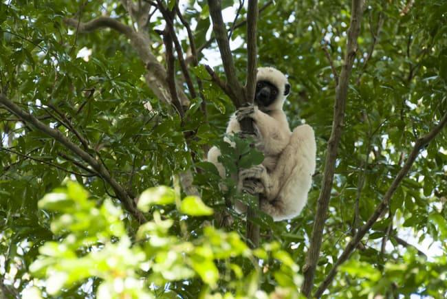 Madagascar Animals: Von der Deckens Sifaka, a white lemur