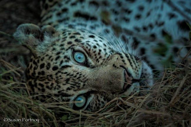 Rockfig Jr. - leopard with aquamarine eyes