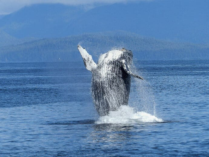 Attractions in Costa Rica -Whale Watching, Humpback Whale