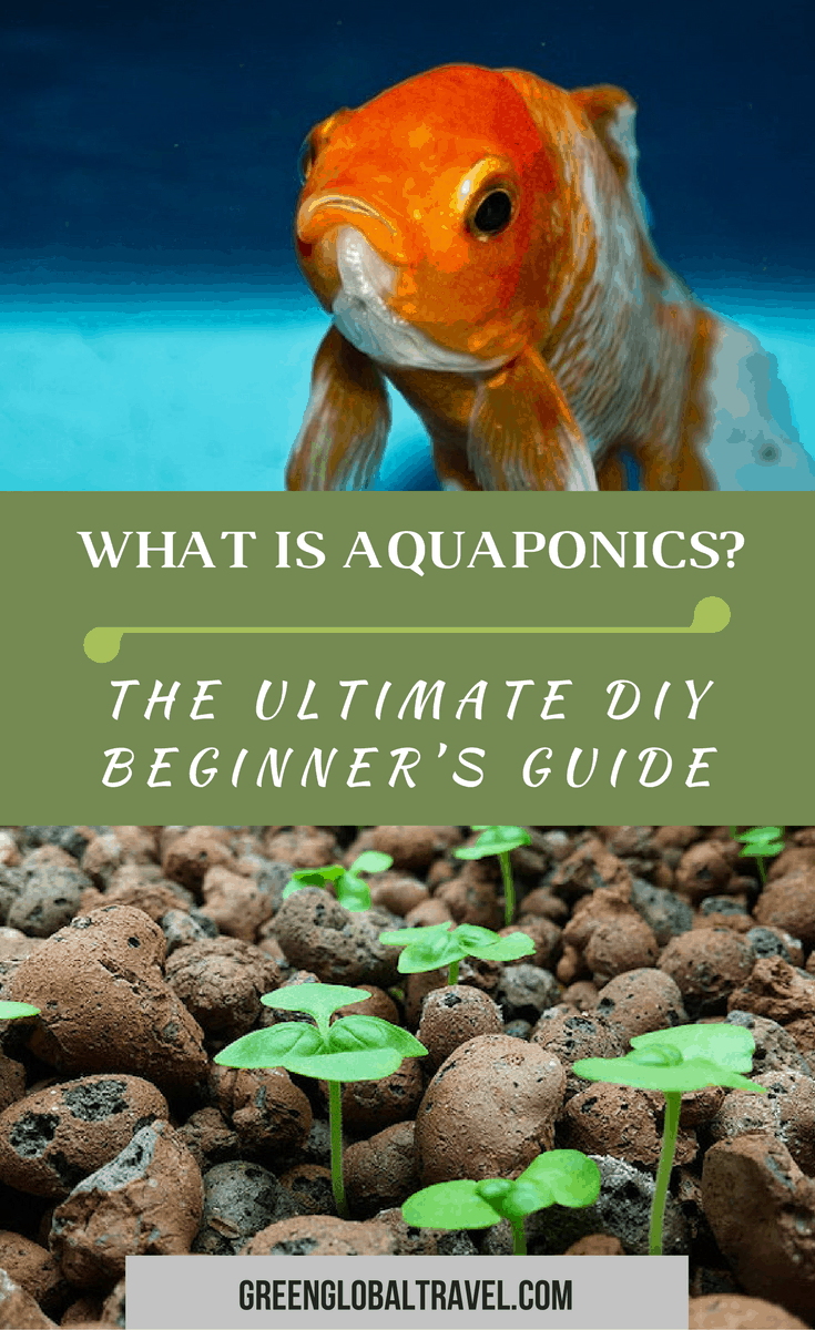What is Aquaponics? Our DIY Aquaponics Beginner's Guide includes: best fish for aquaponics, best plants for aquaponics, aquaponics system designs & more. via @greenglobaltrvl #aquaponicsDIY #aquaponicsforbeginners, #aquaponicsplants