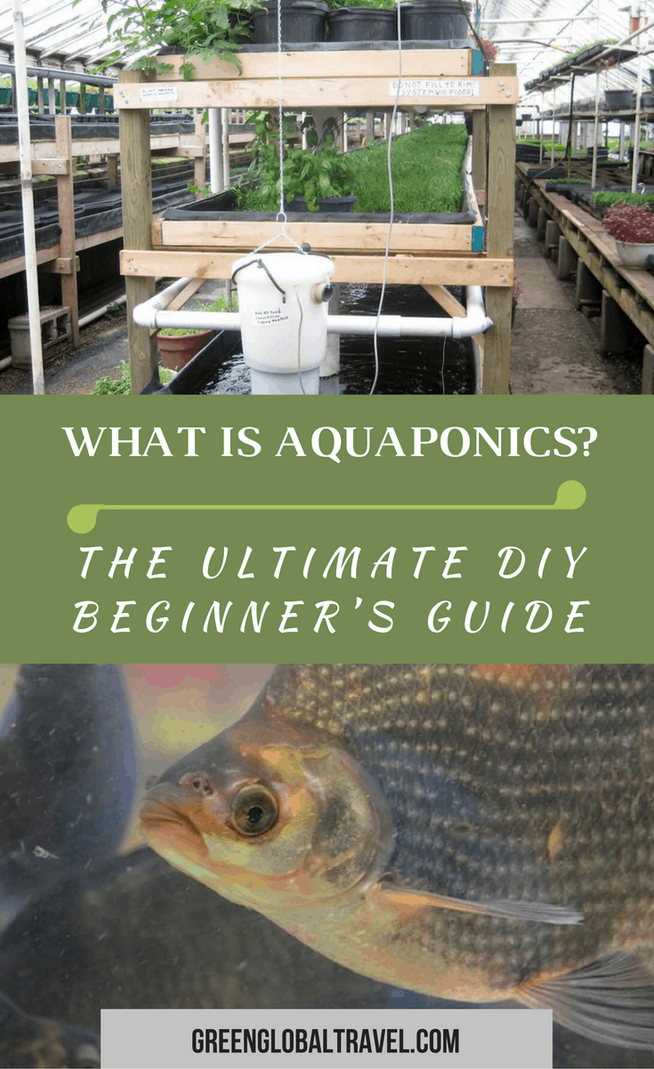 What is Aquaponics? Our Ultimate Beginner's Guide includes a definition of aquaponics, a brief overview of its history, several DIY Aquaponics system designs, info on the best fish and plants to use for your home system, the challenges it presents, and a look at why we think this new trend may be the future of sustainable gardening. via @greenglobaltrvl