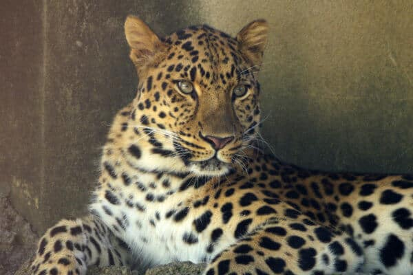 Facts about Amur Leopard
