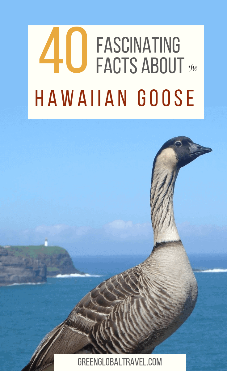 40 Fascinating Facts About the Hawaiian Goose (a.k.a. Nene Goose), including why they're endangered & what's being done to save them, via @GreenGlobalTrvl. #HawaiiBirds #Birds #Birdwatching #Hawaii #HawaiianGoose #NeneGoose #HawaiiAnimals #GeeseBreeds