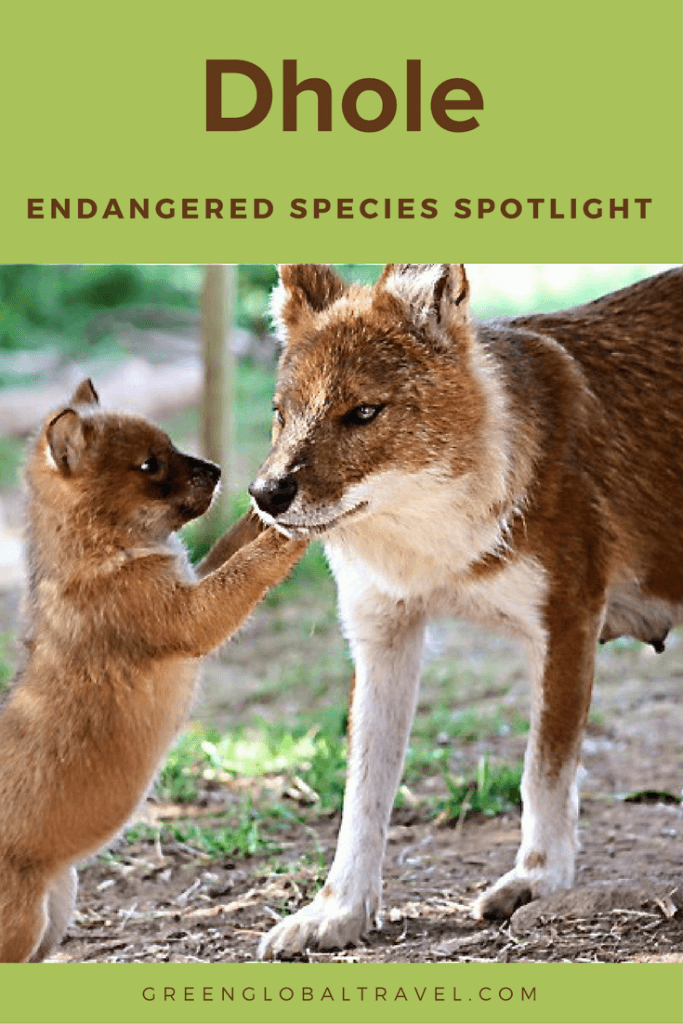 Dhole indian wild dog endangered species spotlight dhole sciox Images