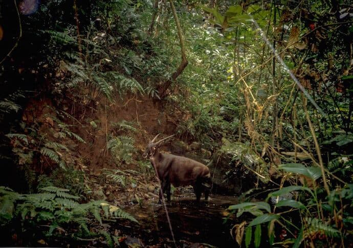Saola in central Laos in 1999 by William Robichaud