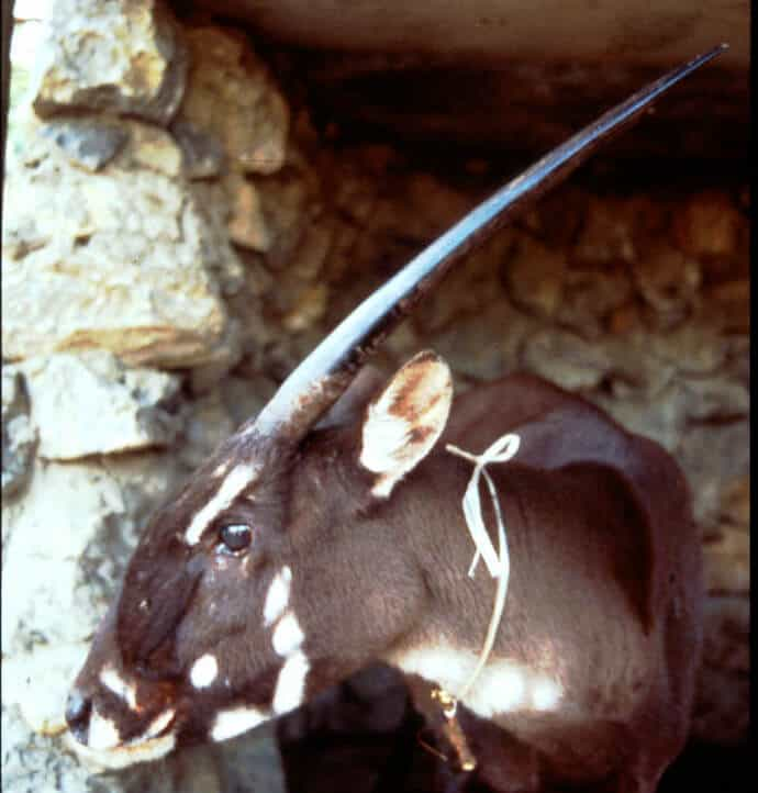 40 Facts Saola - Basic Facts
