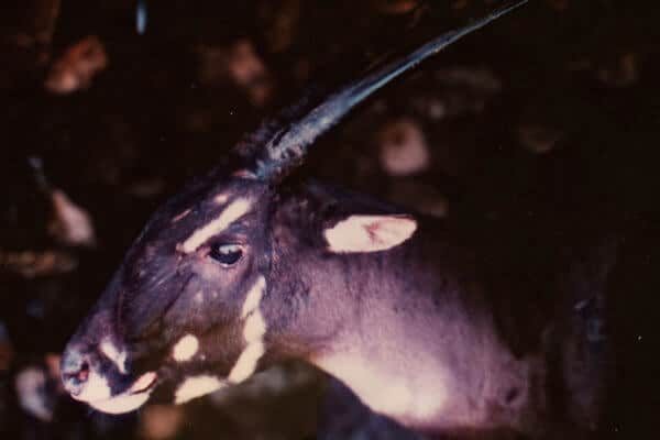 40 Facts Saola - Header