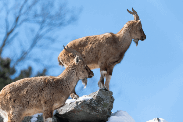 40 Fascinating Facts about the Markhor (National Animal of Pakistan)