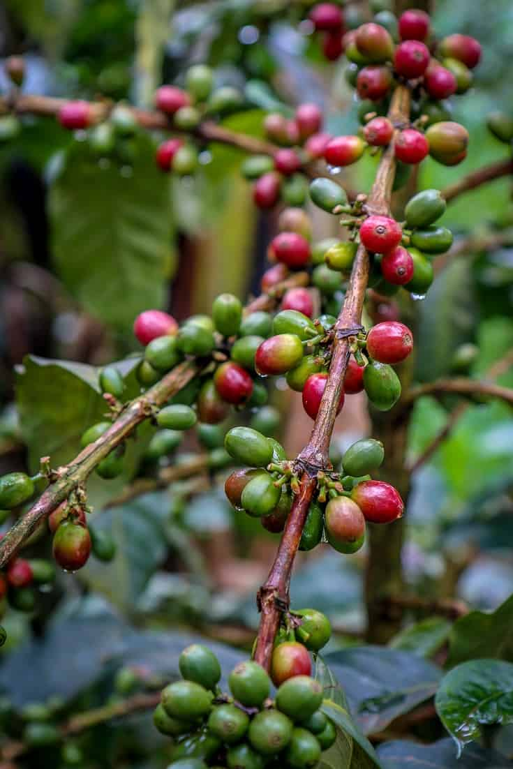 Coffee From Africa - Coffee Beans growing in Kilimanjaro, Tanzania by Bret Love