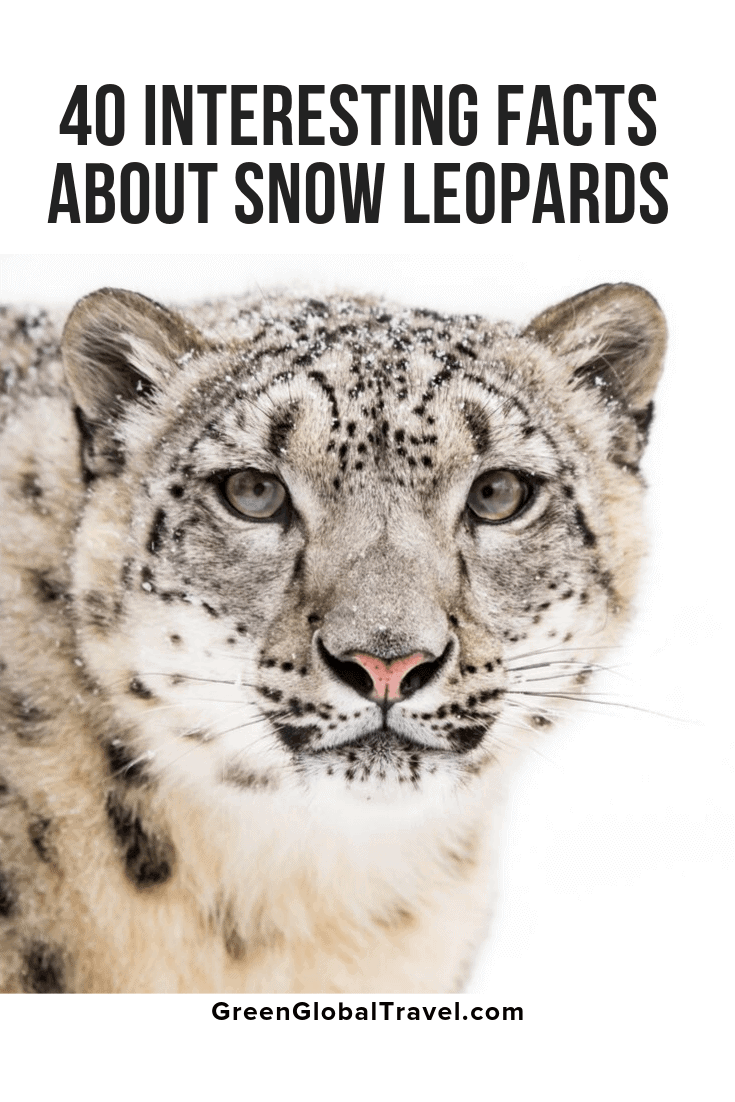 40 Interesting Facts About Snow Leopards with info on Snow Leopard Habitat, Snow Leopard Diet, Snow Leopard Babies/Mating, Snow Leopard Conservation & even more Snow Leopard information!