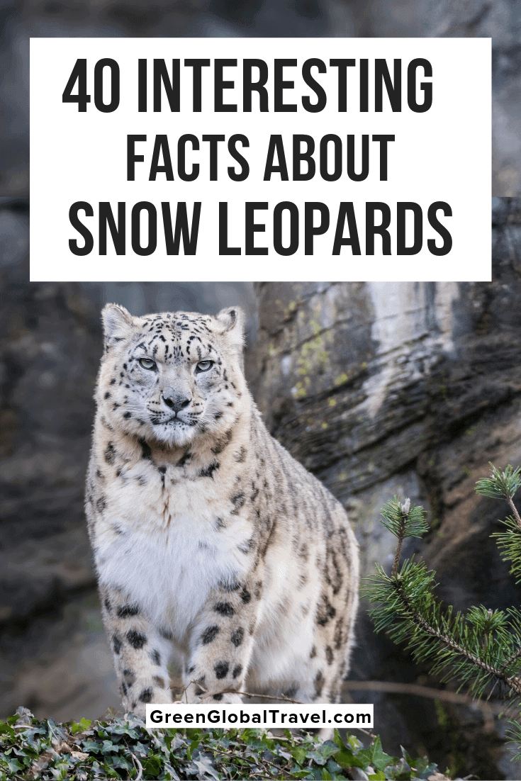 40 Interesting Facts About Snow Leopards with info on Snow Leopard Habitat, Snow Leopard Diet, Snow Leopard Babies/Mating, Snow Leopard Conservation & even more Snow Leopard information! snow leopard tail | snow leopard adaptations | snow leopard coat 320 31 | snow leopard facts for kids |fun facts about snow leopards | snow leopards interesting facts | snow leopard cubs | snow leopard behavior | baby snow leopard | snow leopard population | snow leopard characteristics | snow leopard predators