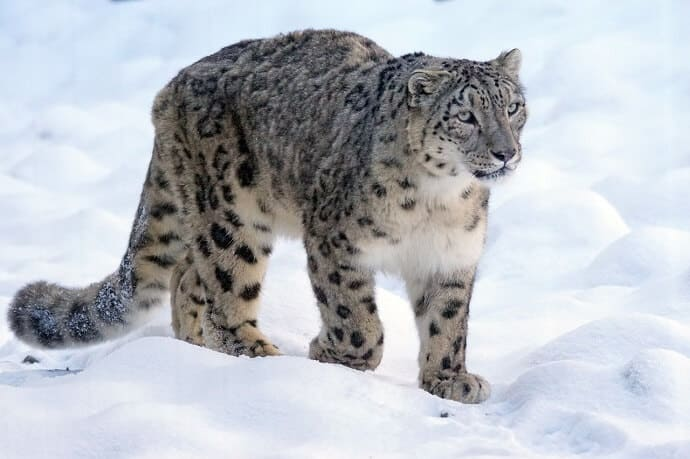 Facts About Snow Leopards