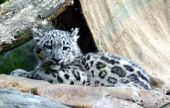 Facts about Snow Leopard Babies
