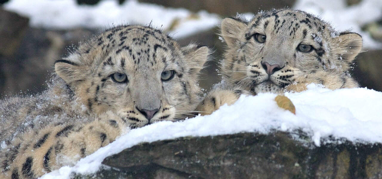 40 Interesting Facts About Snow Leopards