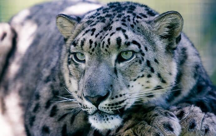 Snow Leopard Facts