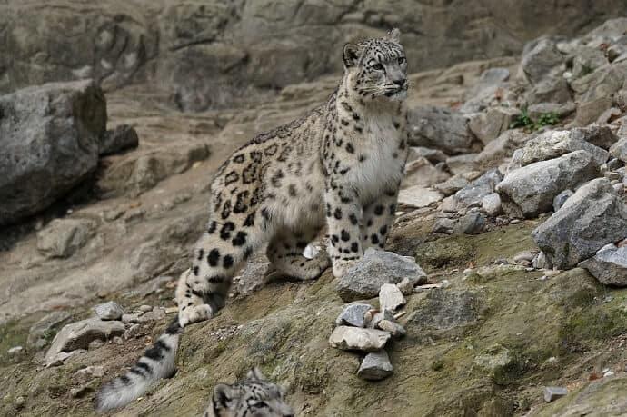 Snow Leopard Habitat