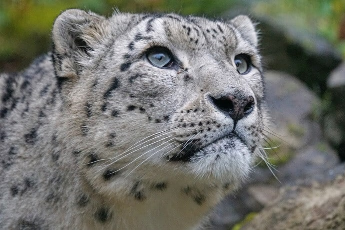 Why Are Snow Leopards Endangered
