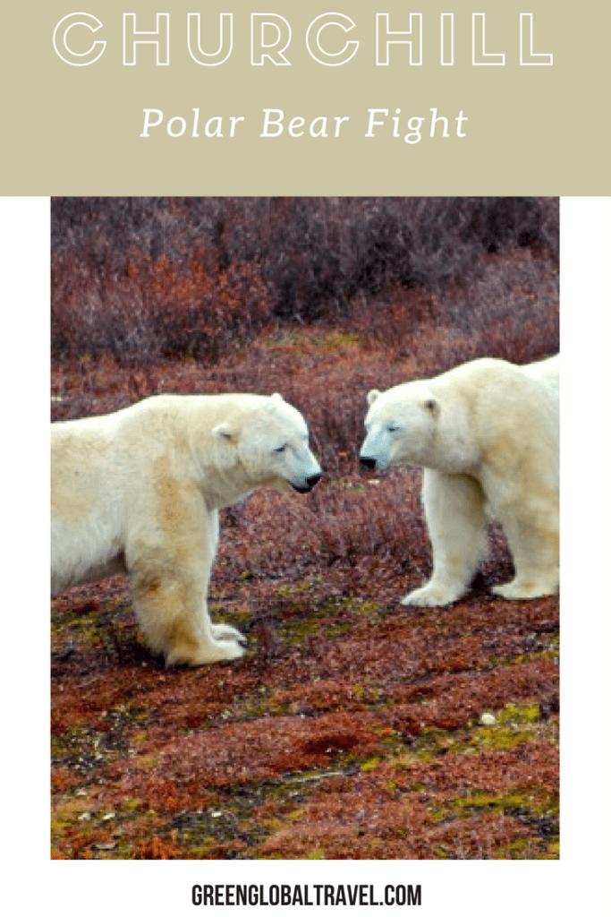 polar bear fight