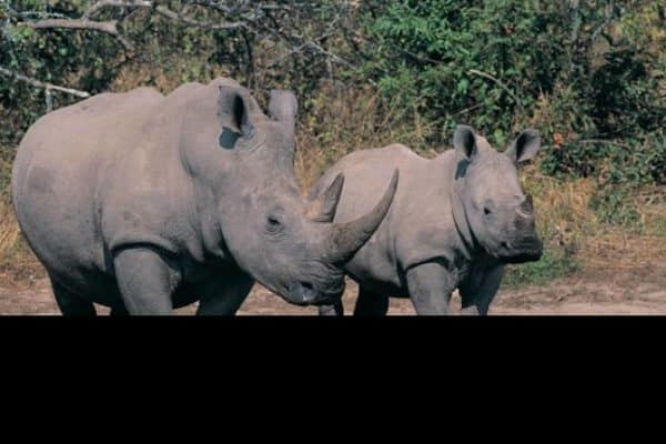 The battle to stop rhino poaching in South Africa