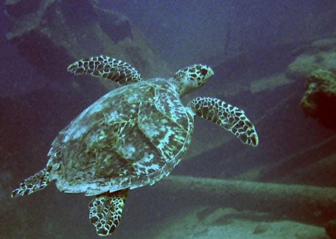 Hawksbill Sea Turtle at Antilla ShipWreck in Aruba