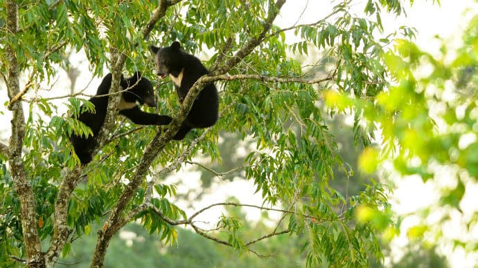 Asian Black Bear Cubs in Khao Yai National Park Thailand
