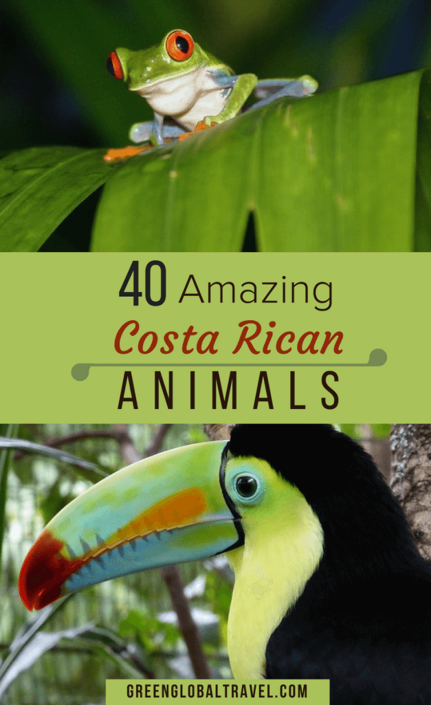 40 Costa Rica Animals including birds, frogs, monkeys, sloths, tapirs, snakes & more! Costa Rica animals rainforests | Costa Rica animals pictures | Costa Rica birds | Costa Rica Wildlife via @greenglobaltrvl