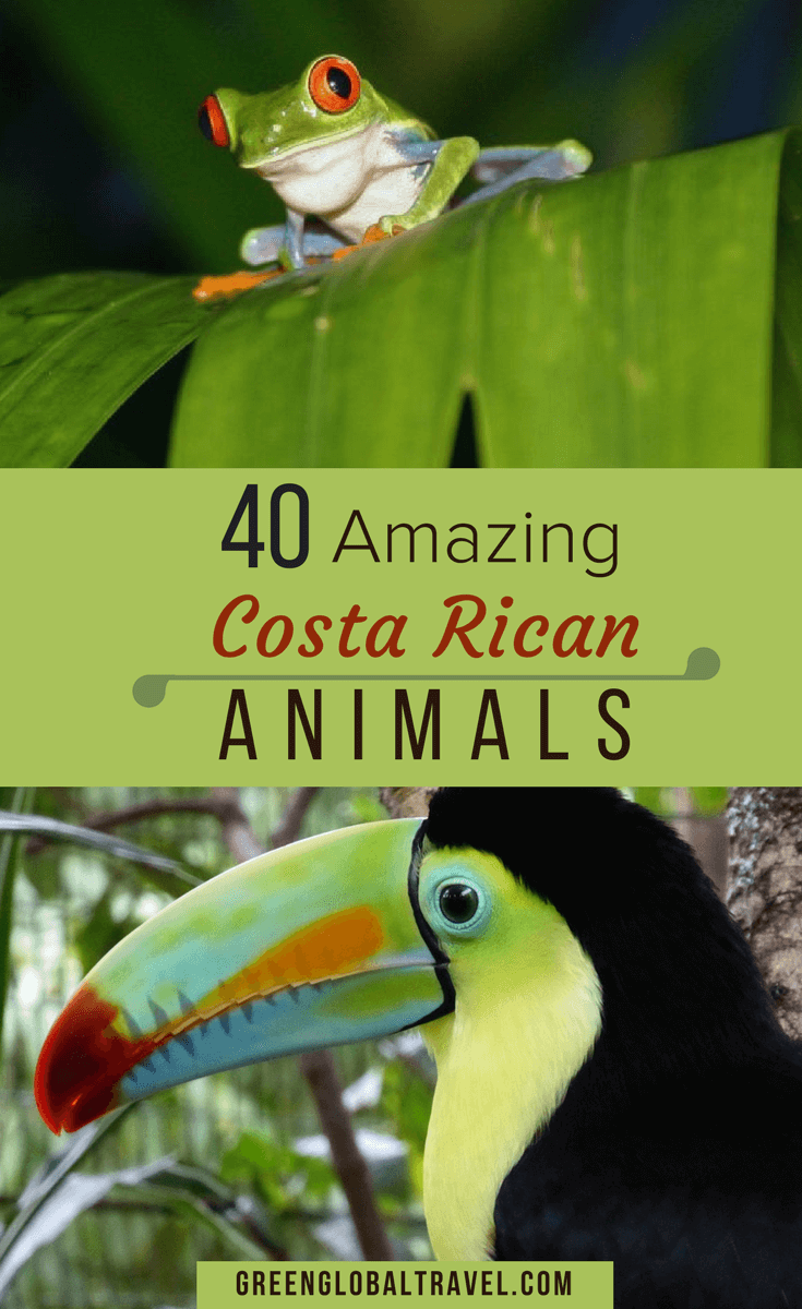 Check out our photos of 40 Amazing Costa Rica Animals including birds, frogs, monkeys, sloths, tapirs, reptiles & more! Costa Rica animals pictures | Costa Rica birds | Costa Rica Wildlife | Wildlife Photography via @greenglobaltrvl