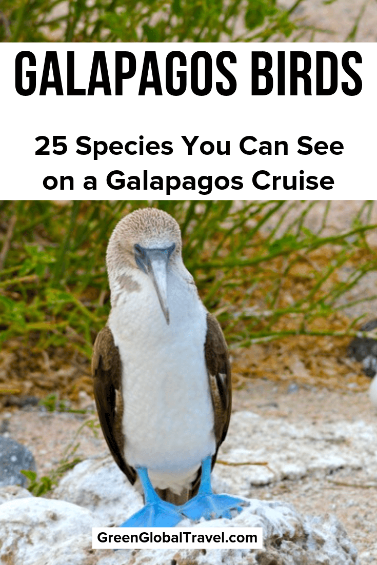 Galapagos Birds: 25 Species You Can See on a Galapagos Cruise | Birds in Galapagos Islands | Galapagos Penguin | Frigate Bird Galapagos | Blue-footed | Booby Nazca Booby | Red-footed Booby | Blue Footed Booby Dance | Waved Albatross | Darwin's Finches | Galapagos Hawk | Galapagos Islands Birds | Galapagos Wildlife | Galapagos Island Birds| Birds Galapagos Islands | Galapagos Islands Wildlife | Galapagos Islands Penguins | Galapagos Boobies