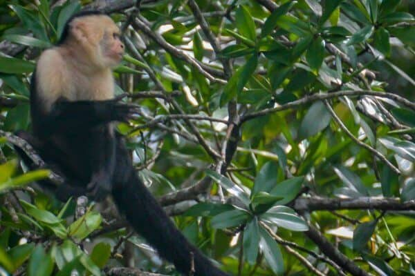 Capuchin Monkey in Corcovado National Park, Costa Rica