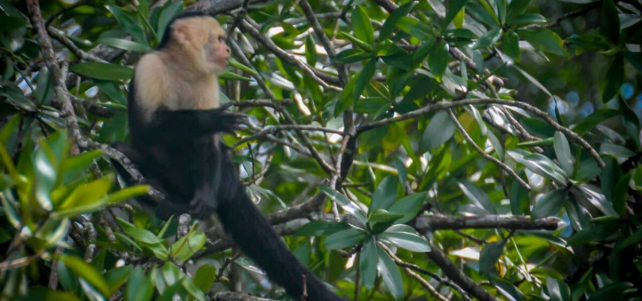 puchin-Monkey-in-Corcovado-National-Park-Costa Rica