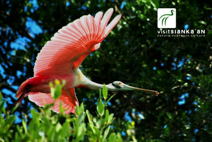 SianKaan Nature Tour - Rosate Spoonbill