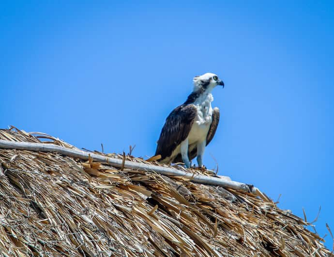 Osprey at Isla Pajaros (Bird Island) in Yum Balam Biosphere Reserve