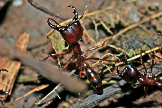 Biting Insects -Army Ants (Dorylus_sp.)