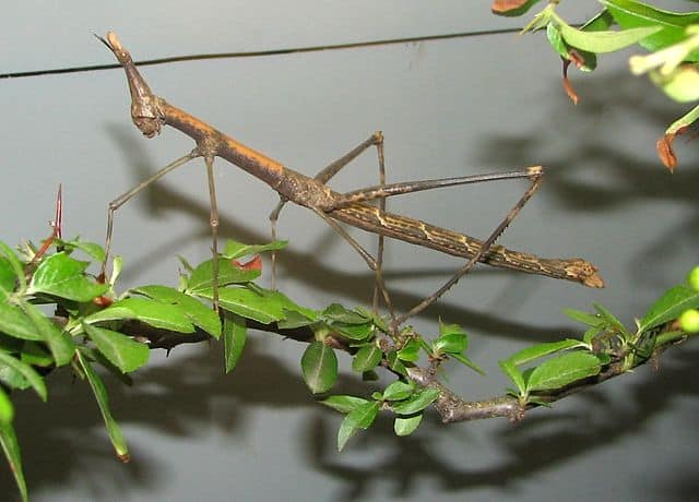 Large Insects Around The World -Giant Jumping Stick
