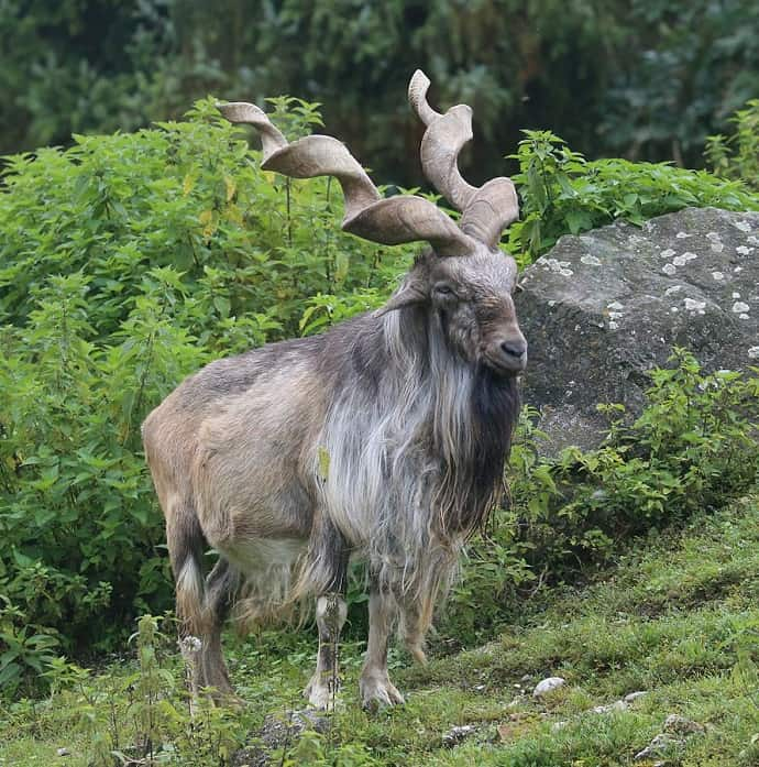 Odd Mammals Around The World -Markhor