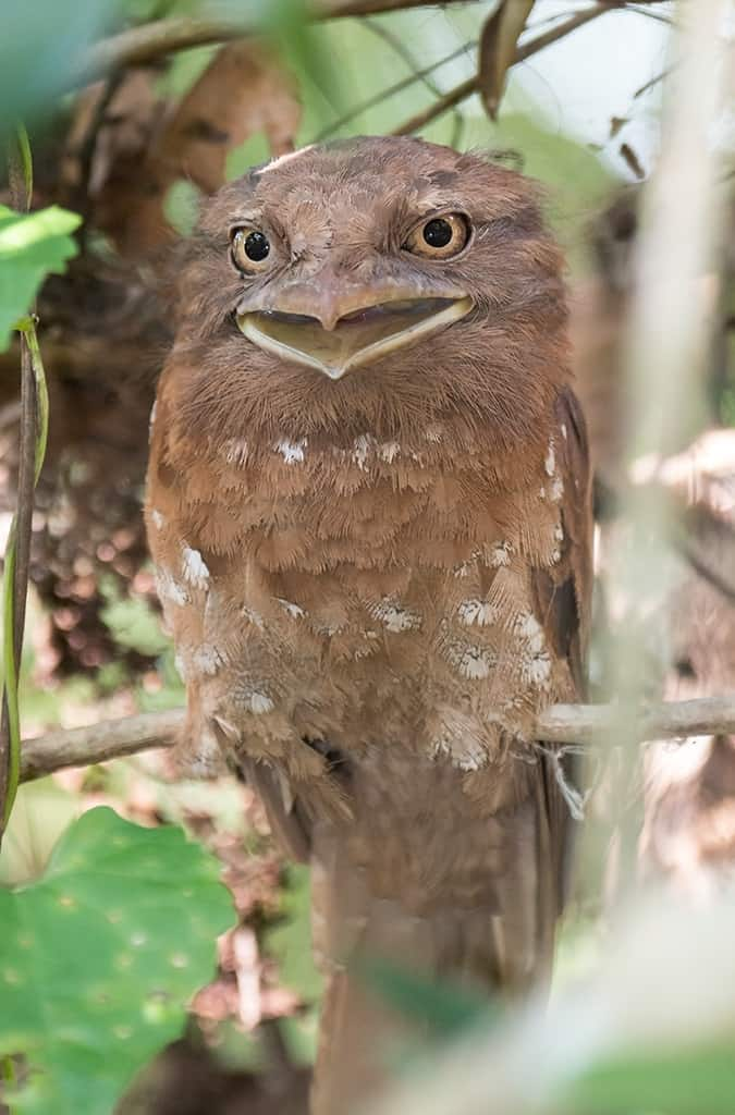 Weird birds around the world - Sri Lanka Frogmouth